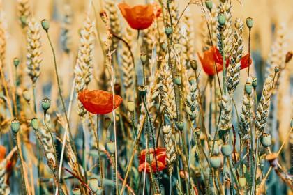 Co na chwasty w zbożu ozimym/ pszenicy - na wiosnę