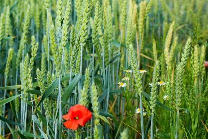 Co na miotłę zbożową w pszenicy ozimej? Zwalczanie.