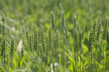 Skracanie zbóż regulatorami wzrostu w uprawie zbóż ozimych.