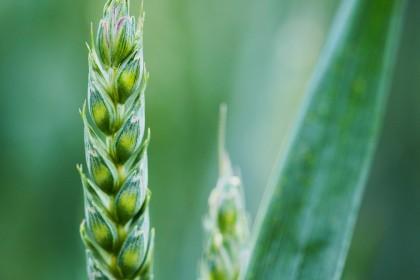 Jakie środki na zabieg przeciwgrzybowy T2 i T3 w pszenicy ozimej?