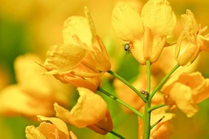 Co na szkodniki w rzepaku? Zwalczenie wiosną i jesienią.