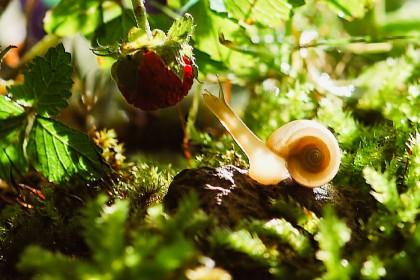 Jak zwalczać szkodniki w truskawkach?