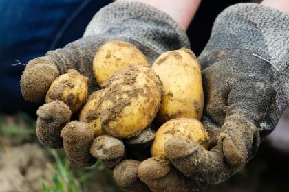 Jak chronić ziemniaki przed chwastami? Opryski na chwasty w ziemniakach przed wschodami