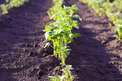 Jak zwalczać nicienie w ziemniakach?