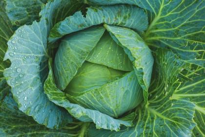 Mączlik warzywny - jak zwalczać?