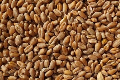 Zaprawy do zboża grzybobójcze. Zaprawianie zbóż.