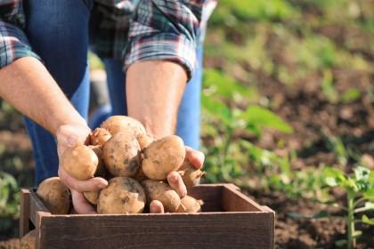 Jakie ziemniaki sadzeniaki wybrać? Jakie najlepsze?