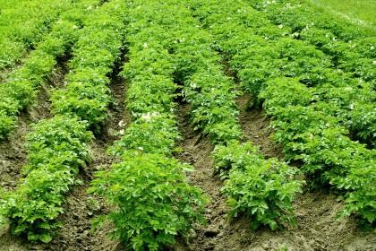 Rizoktonioza w ziemniaku - jak zwalczać?
