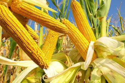 Jaką kukurydzę wybrać? Czym kierować się przy wyborze odmiany kukurydzy?