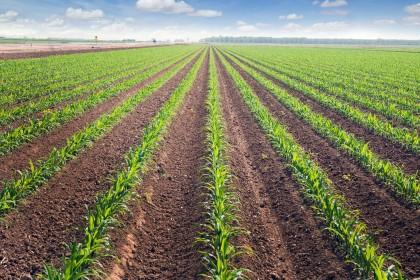 Nawożenie kukurydzy z naciskiem na dokarmianie dolistne