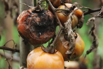 Co na zarazę i alternariozę pomidora? Środki ochrony