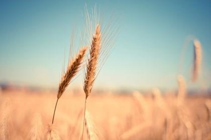 Jak nie przypalić uprawy? Co to jest fitotoksyczność roślin?