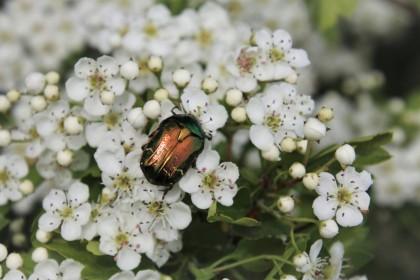 Perytroidy – środki ochrony roślin owadobójcze