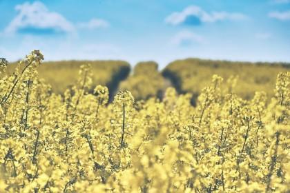 Jakie nasiona rzepaku ozimego wybrać do siewu?