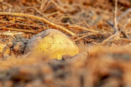Zasuszanie naci ziemniaka - desykacja ziemniaka