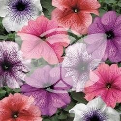 petunia_veined_mix.jpg