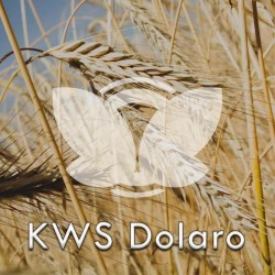Żyto ozime KWS Dolaro F1, C1, opak. 1 mln.n.
