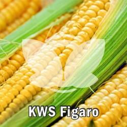 kwsfigaro.jpg