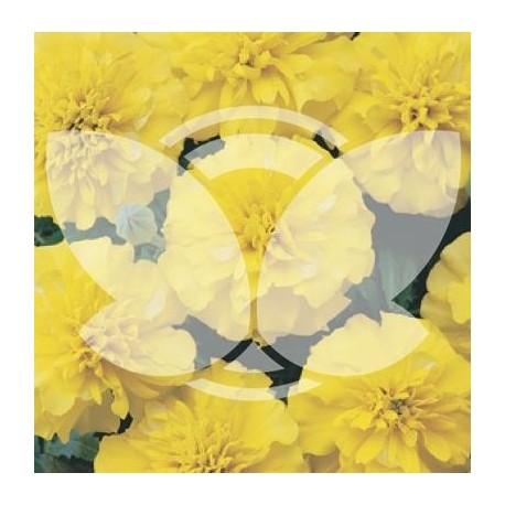 Aksamitka_aton_yellow.jpg
