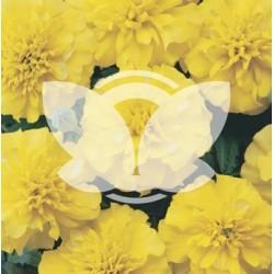 Aksamitka niska wielkokwiatowa Mona żółta 1G ST