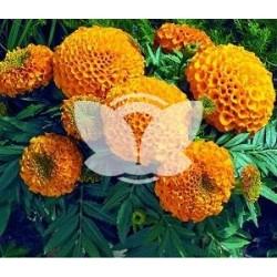 Aksamitka niska wielkokwiatowa Mona pomarańczowa1G ST