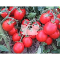 pomidor_albarossa_f1.jpg