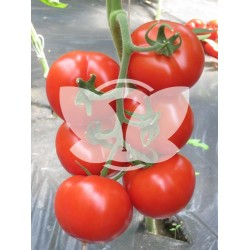 pomidor_jairo_f1.jpg
