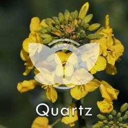 Rzepak ozimy Quartz, C1, opak. 2 mln.n. z Cruiser OSR 322FS