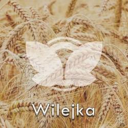 Pszenica ozima Wilejka C1, opak. 50kg