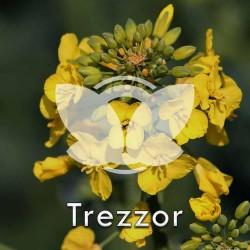 Rzepak ozimy Trezzor F1, C1, opak. 1,5 mln.n z Cruiser OSR 322FS