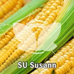 kukurydza_SU_susann_saaten_union.jpg
