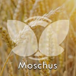 Pszenica ozima Moschus, C1, opak. 25kg
