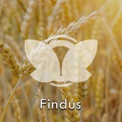 Pszenica ozima Findus, C1, opak. 50kg