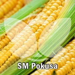 kukurydza_pokusa.jpg