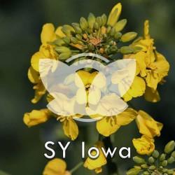 Rzepak ozimy SY Iowa [Ajoła] F1, opak. 1,5 mln.n. z Cruiser OSR 322FS