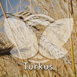Żyto-turkus.jpg