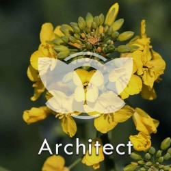 Rzepak ozimy LG Architect F1, C1, opak. 1,5 mln.nas. z Buteo Start