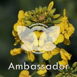 Rzepak ozimy Ambassador F1, C1, opak. 1,5 mln.nas. z Cruiser OSR 322FS