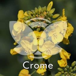 RZEPAK-crome.jpg