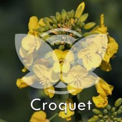 RZEPAK-croquet.jpg
