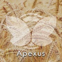 Pszenica ozima Apexus, C1, opak. 30kg