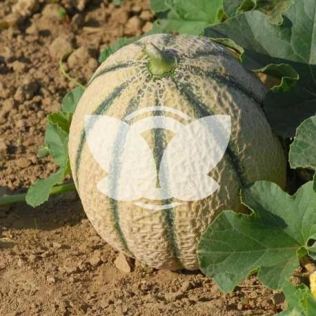 melon-talisman-sakata.jpg